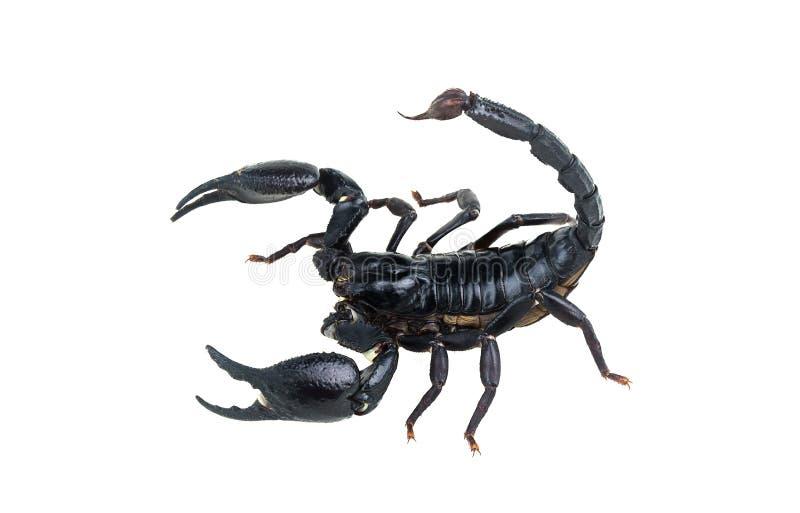 Emperor Scorpion. stock photography