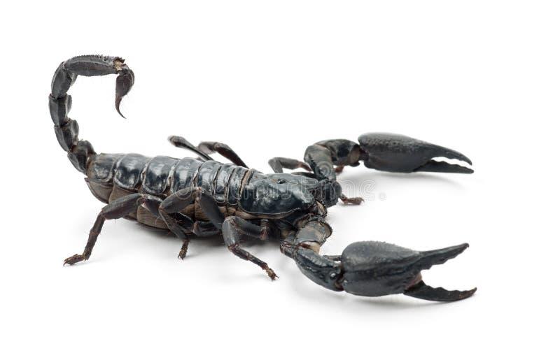 Emperor Scorpion, Pandinus imperator. Against white background royalty free stock photos