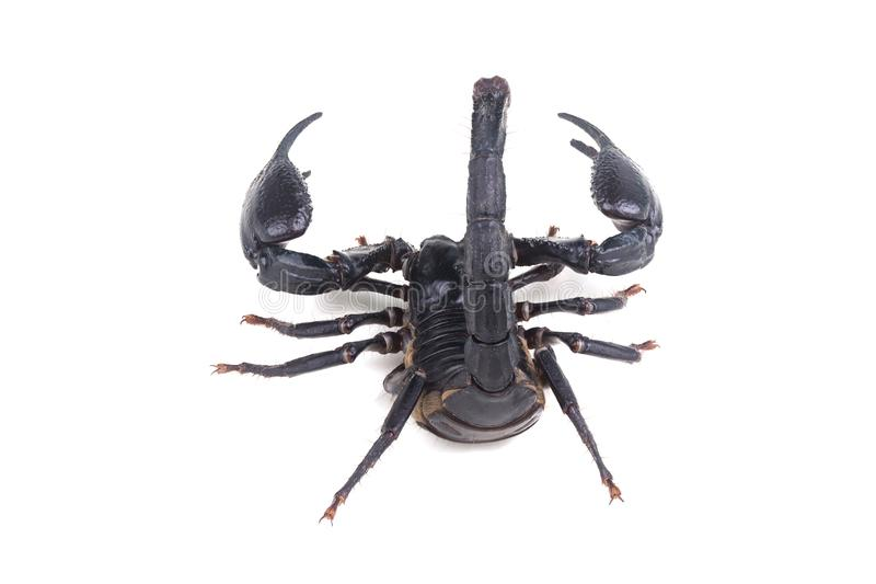 Emperor Scorpion, Pandinus imperator, of white background. royalty free stock photography