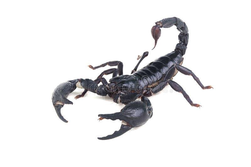 Emperor Scorpion, Pandinus imperator, of white background. stock photos