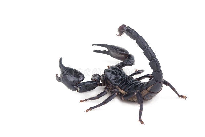 Emperor Scorpion, Pandinus imperator, of white background. stock images