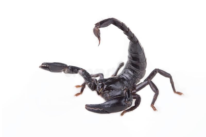 Emperor Scorpion, Pandinus imperator, of white background. Images of high-resolution scorpions suitable for graphic work or tattoo shops royalty free stock photos