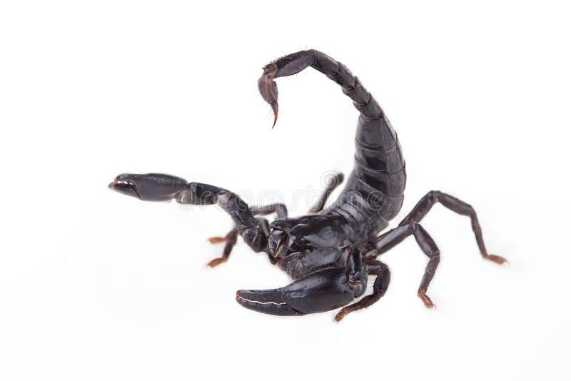 Emperor Scorpion, Pandinus imperator, of white background royalty free stock photos