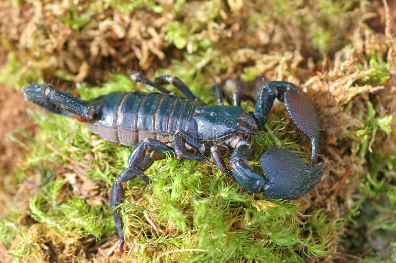 Emperor Scorpions royalty free stock photo
