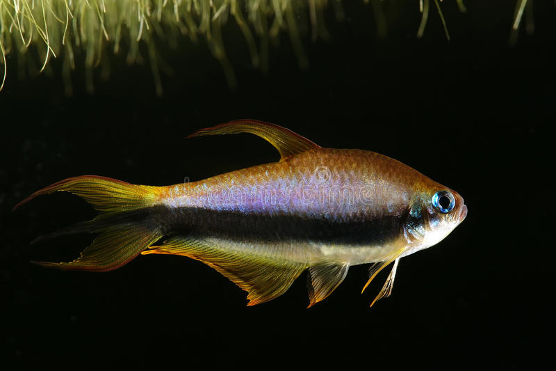 Emperor tetra. (Nematobrycon palmeri) in aquarium stock images