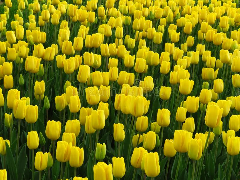 Emperor Tulip Yellow Purissima. Many yellow blooming Tulips with oval petals. stock images