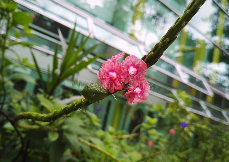 Empestez le viridula de Nezara d'insecte, Pentatomidae avec les fleurs roses, fond en cristal photo stock
