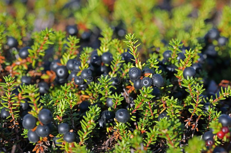Empetrum. Crowberry close-up on the Yamal Peninsula. Empetrum. Crowberry summer day in the North of Siberia stock images