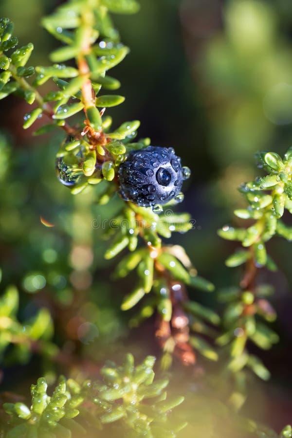 Empetrum nigrum, crowberry, black crowberry, dans l'ouest de l'Alaska, blackberry est une espèce végétale de la famille des bruyè photos stock