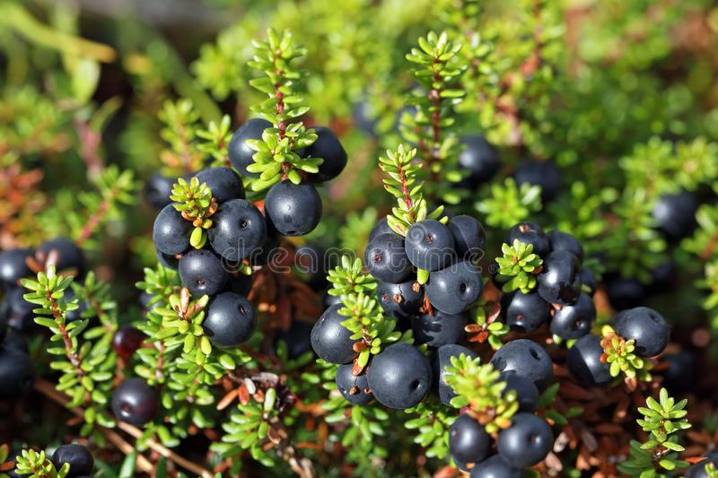 Empetrum. Ripe crowberry fruit in the forest tundra of Siberia. Empetrum. Crowberry close-up on the Yamal Peninsula royalty free stock photo