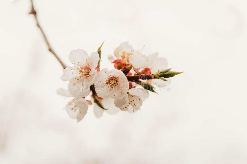 Empfindliche blühende Kirschbaumniederlassung auf weißem Hintergrund stockfotos