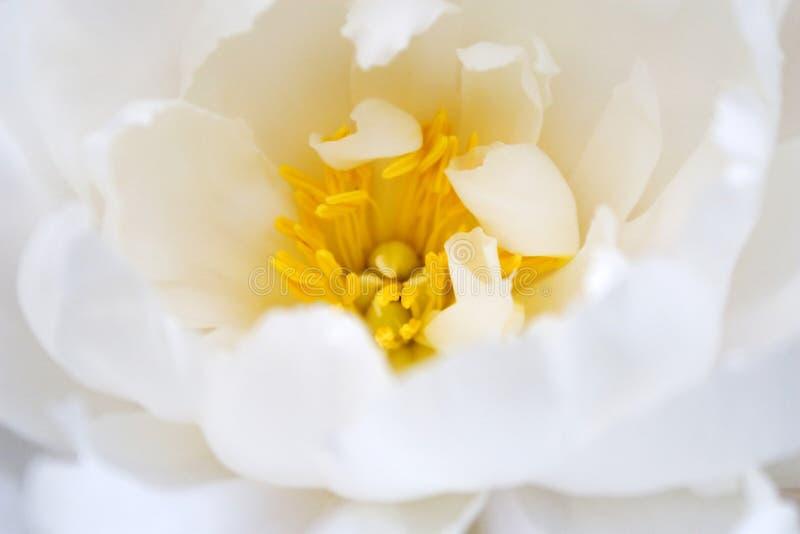 Empfindliche Blüte der weißen Blume stockfoto