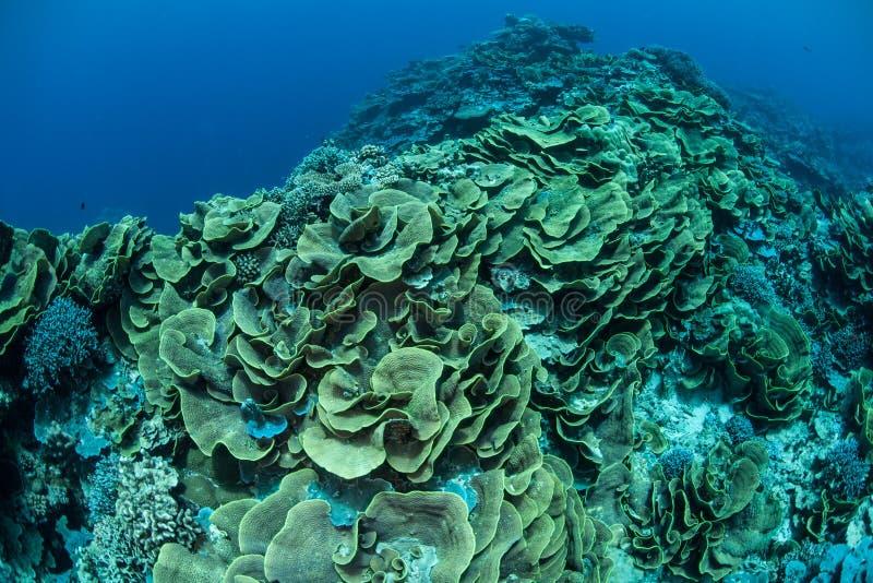 Empfindliche Foliose Korallen in Mikronesien stockbilder