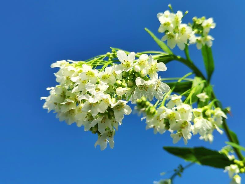Empfindliche Gartenmeerrettichblumen lizenzfreies stockfoto