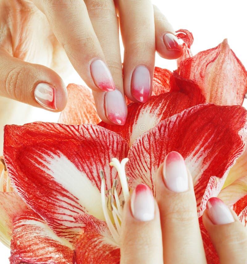 Empfindliche Hände der Schönheit mit der rosa Ombre-Designmaniküre, die Blumenamaryllisabschluß lokalisierten hält oben, warmes M stockbilder