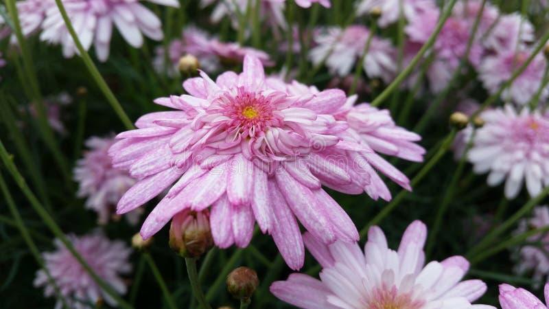 Empfindliche hellrosa Blüte lizenzfreie stockfotos