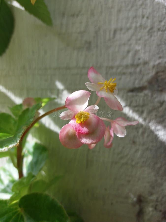Empfindliche kleine Blume stockbilder