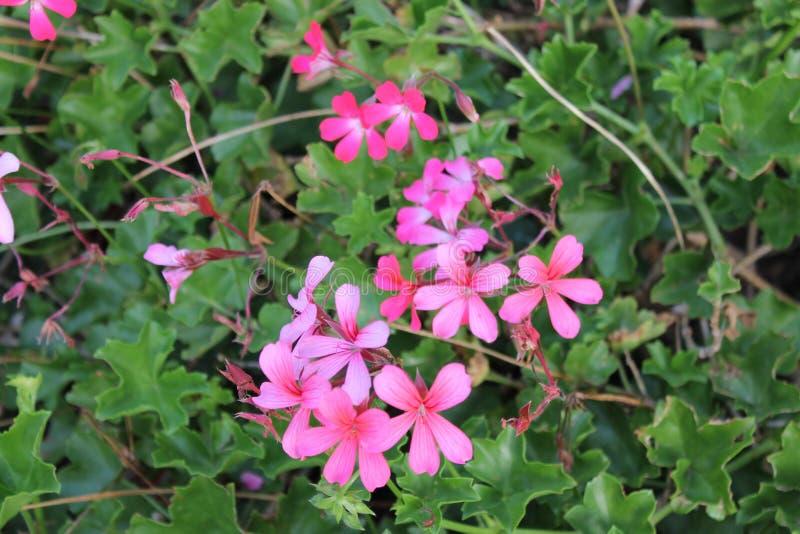 Empfindliche rosa Gartenblumen auf einem Blumenbeet gegen einen Hintergrund von hellgrünen Blättern stockfotos