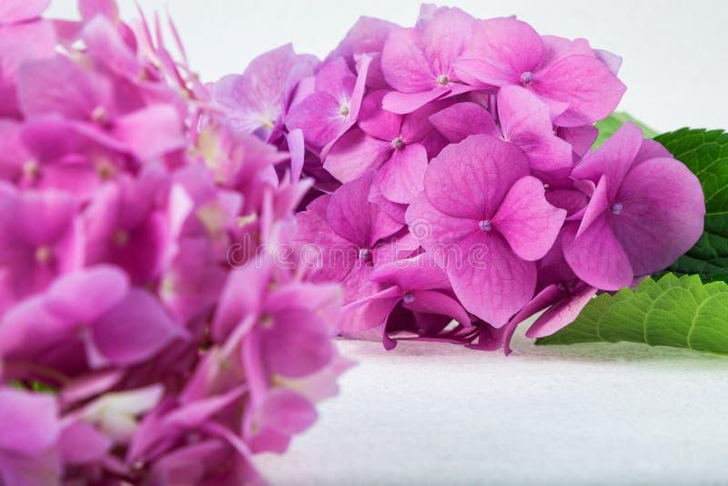 Empfindliche rosa purpurrote Hortensie auf einem Zweig auf einem hellen Hintergrund lizenzfreies stockbild