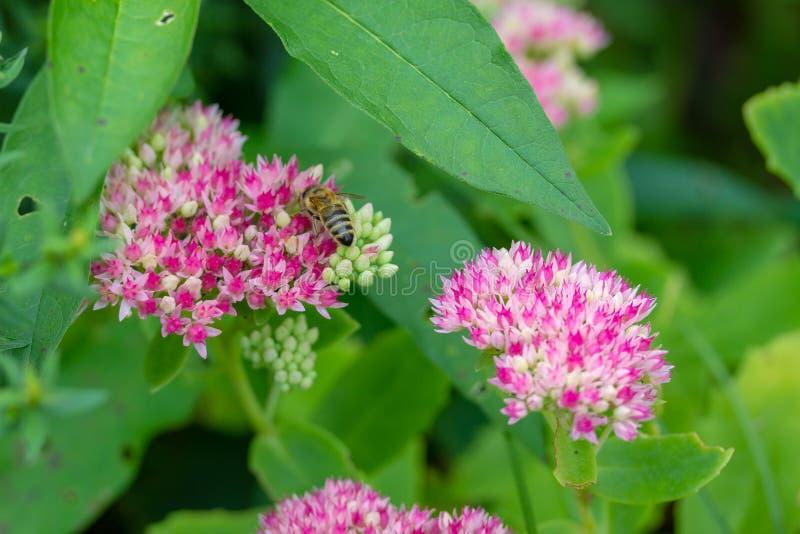Empfindliche rosa und rote Blumen von Sedum mit Biene lizenzfreies stockbild