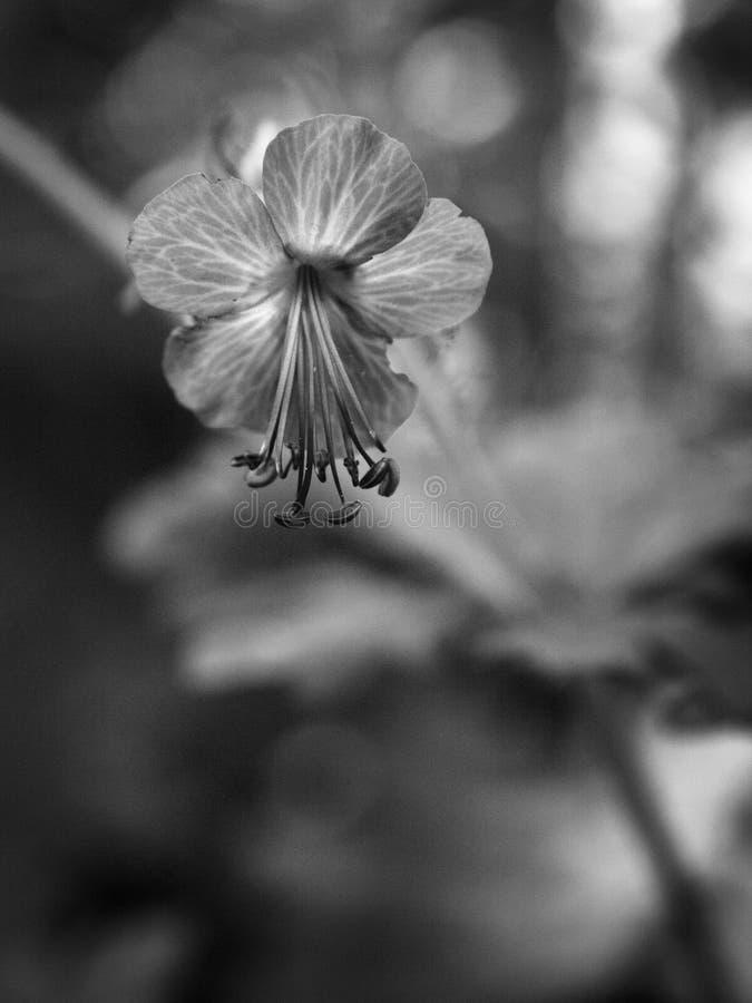 Empfindliche Schwarzweiss-Blume mit unscharfem Hintergrund lizenzfreies stockfoto