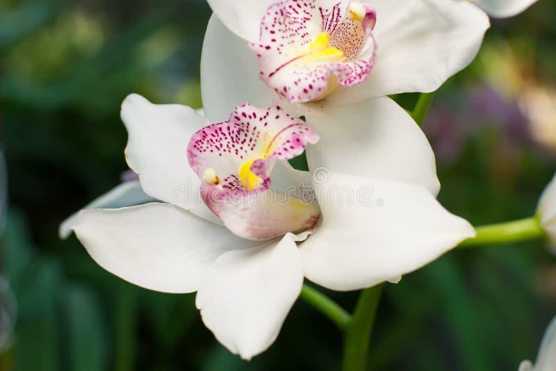 Empfindliche weiße Orchidee mit rosa Kern stockbild