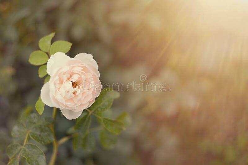 Empfindlicher rosa weißer Garten stieg nah oben auf einen undeutlichen Hintergrund in der Sonne mit Höhepunkten und bokeh Tulpen  lizenzfreie stockfotografie