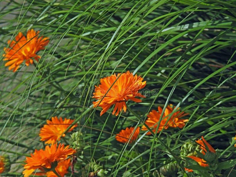 Empfindliches REEDsommer ornage blühender Blütenblumenbetriebssommergarten lizenzfreie stockfotos
