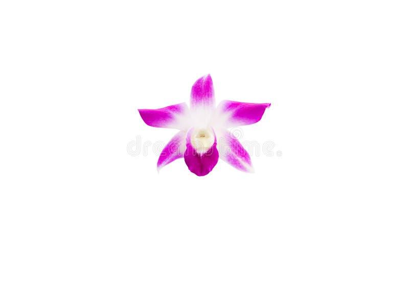 Empfindliches schönes der purpurroten Blume der Orchidee lokalisiert auf weißem Hintergrund und Beschneidungspfad lizenzfreie stockfotografie