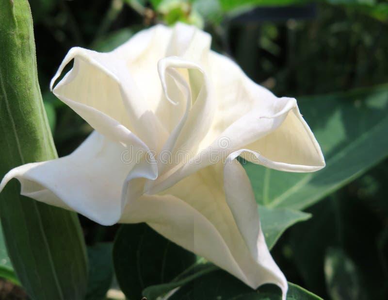 Empfindliches Weiß Moonflower stockfotos