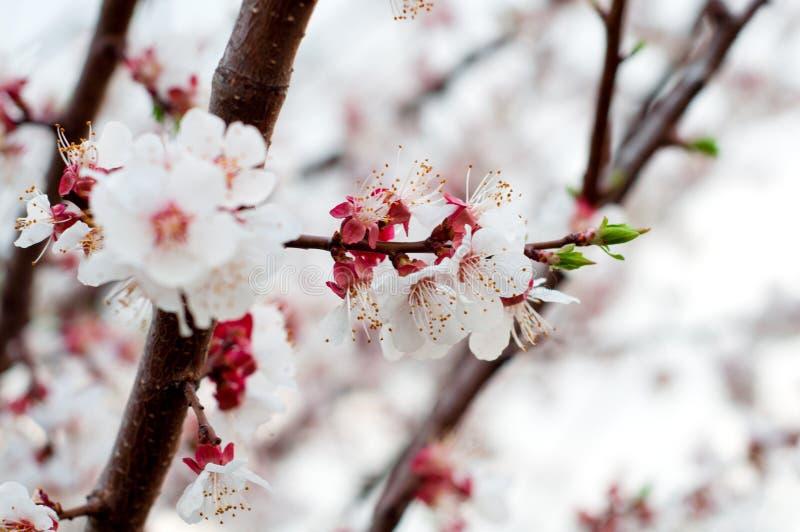 Empfindliches weiße und purpurrote Kirschblüten-Nahaufnahme blühendes gre lizenzfreie stockfotografie