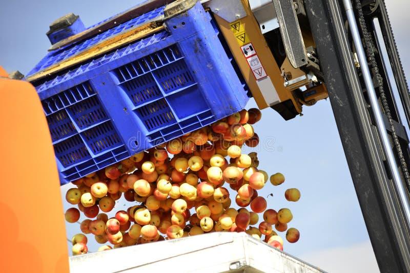 empilhadeira que derrama maçãs industriais na caixa grande do plasti no caminhão imagens de stock royalty free