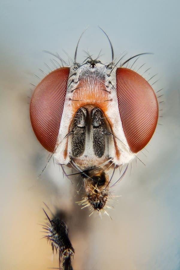 Empilhamento do foco - mosca, moscas imagens de stock