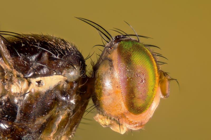 Empilhamento do foco - mosca, moscas fotografia de stock royalty free