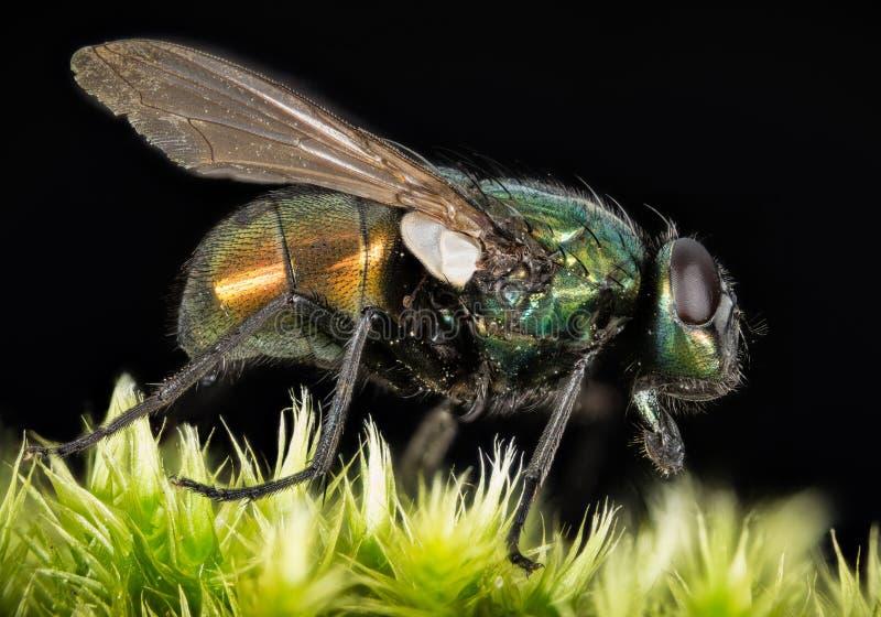 Empilhamento do foco - a mosca verde comum da garrafa, mosca de Greenbottle, voa foto de stock