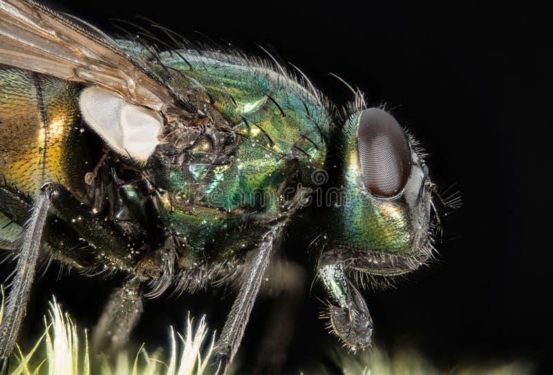 Empilhamento do foco - a mosca verde comum da garrafa, mosca de Greenbottle, voa fotografia de stock