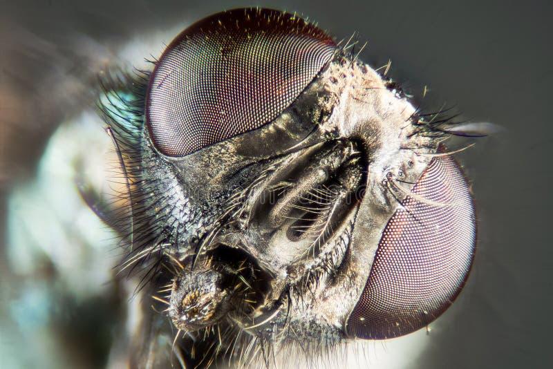 Empilhamento do foco - a mosca verde comum da garrafa, mosca de Greenbottle, voa imagem de stock