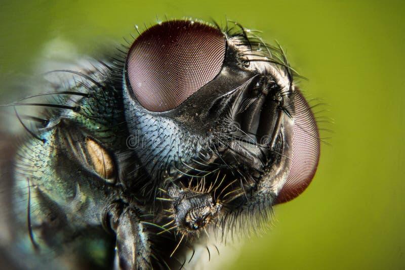 Empilhamento do foco - a mosca verde comum da garrafa, mosca de Greenbottle, voa imagens de stock