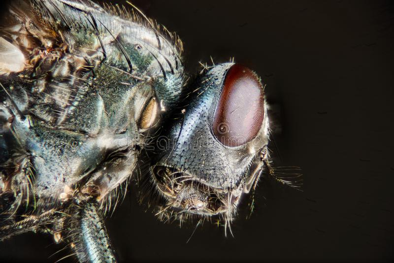 Empilhamento do foco - a mosca verde comum da garrafa, mosca de Greenbottle, voa foto de stock royalty free