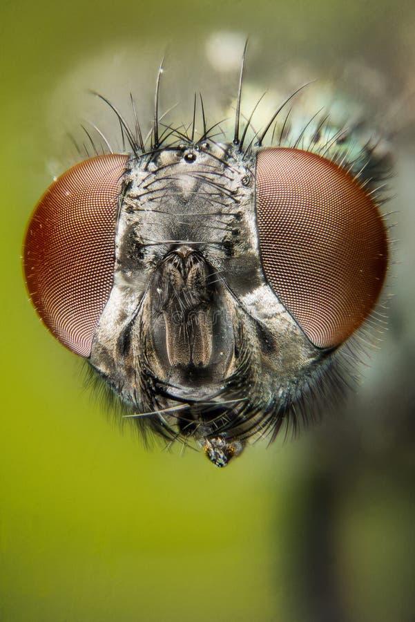 Empilhamento do foco - a mosca verde comum da garrafa, mosca de Greenbottle, voa imagem de stock royalty free
