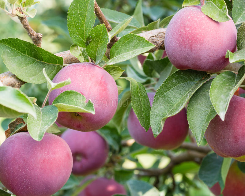 Empire apples in the apple tree. Empire apples growing in the orchard stock photo