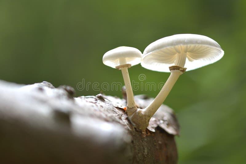 Empoisonnement de champignon photos stock