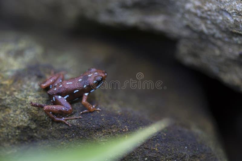 Empoisonnez la grenouille de dard images stock