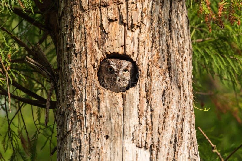 Empoleirado dentro de um pinheiro, pares orientais de um asio de Megascops da coruja de cantada para fora do furo do ninho fotografia de stock royalty free