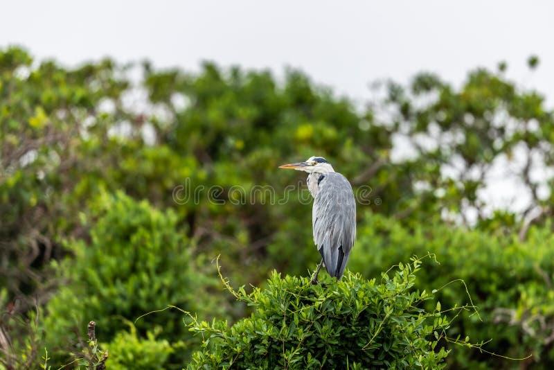 Empoleirar-se cinerea de Gray Heron Ardea na lagoa imagem de stock