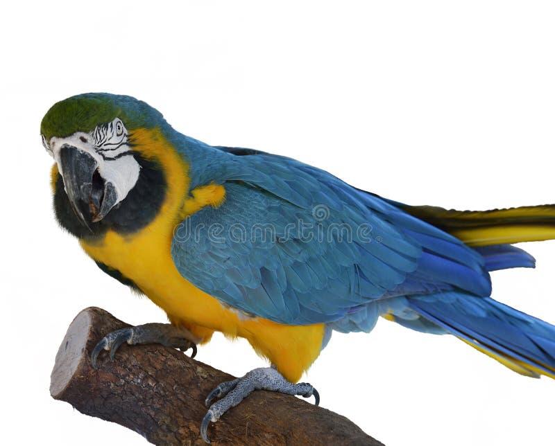 Empoleirar-se do papagaio do Macaw foto de stock royalty free