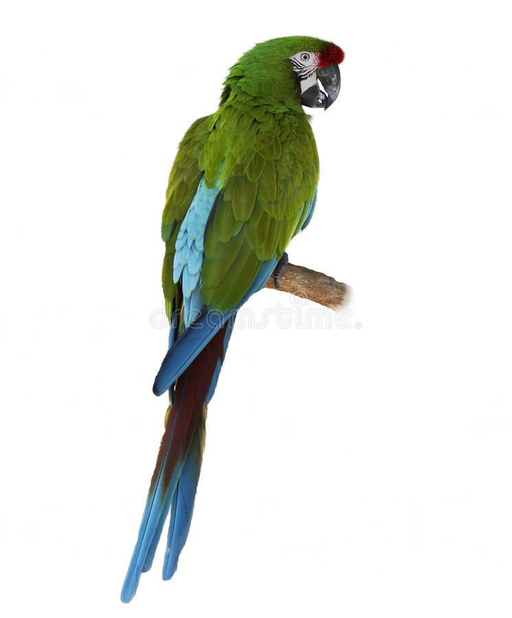Empoleirar-se do papagaio do Macaw imagem de stock royalty free