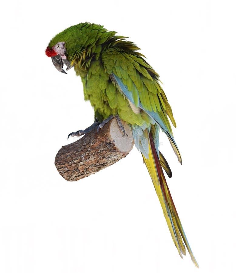 Empoleirar-se do papagaio do Macaw foto de stock