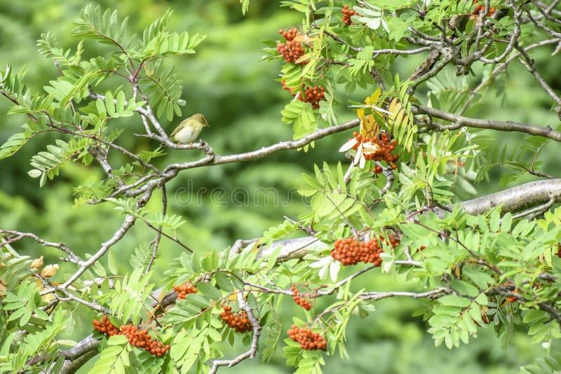 Empoleirar-se fêmea da estrela vermelha no ramo de árvore da cinza da montanha imagens de stock royalty free