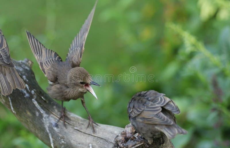 Empoleirar-se vulgar novo de Starling Sturnus em uma árvore com seu bico aberto e propagação das asas Os pássaros novos têm lutad imagens de stock